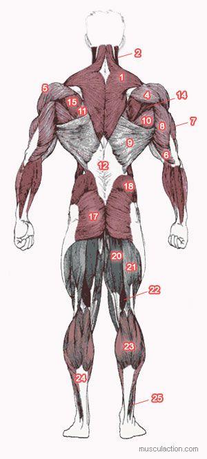 Anatomie Musculation