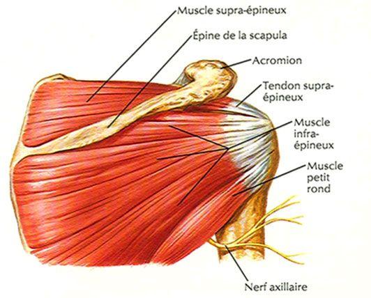 Souvent Les tendinites de l'épaule JA54